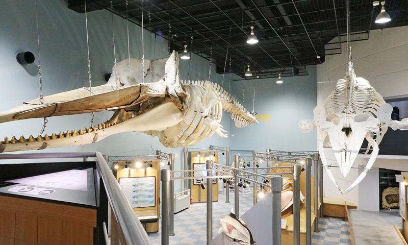 クジラの本物骨格標本
