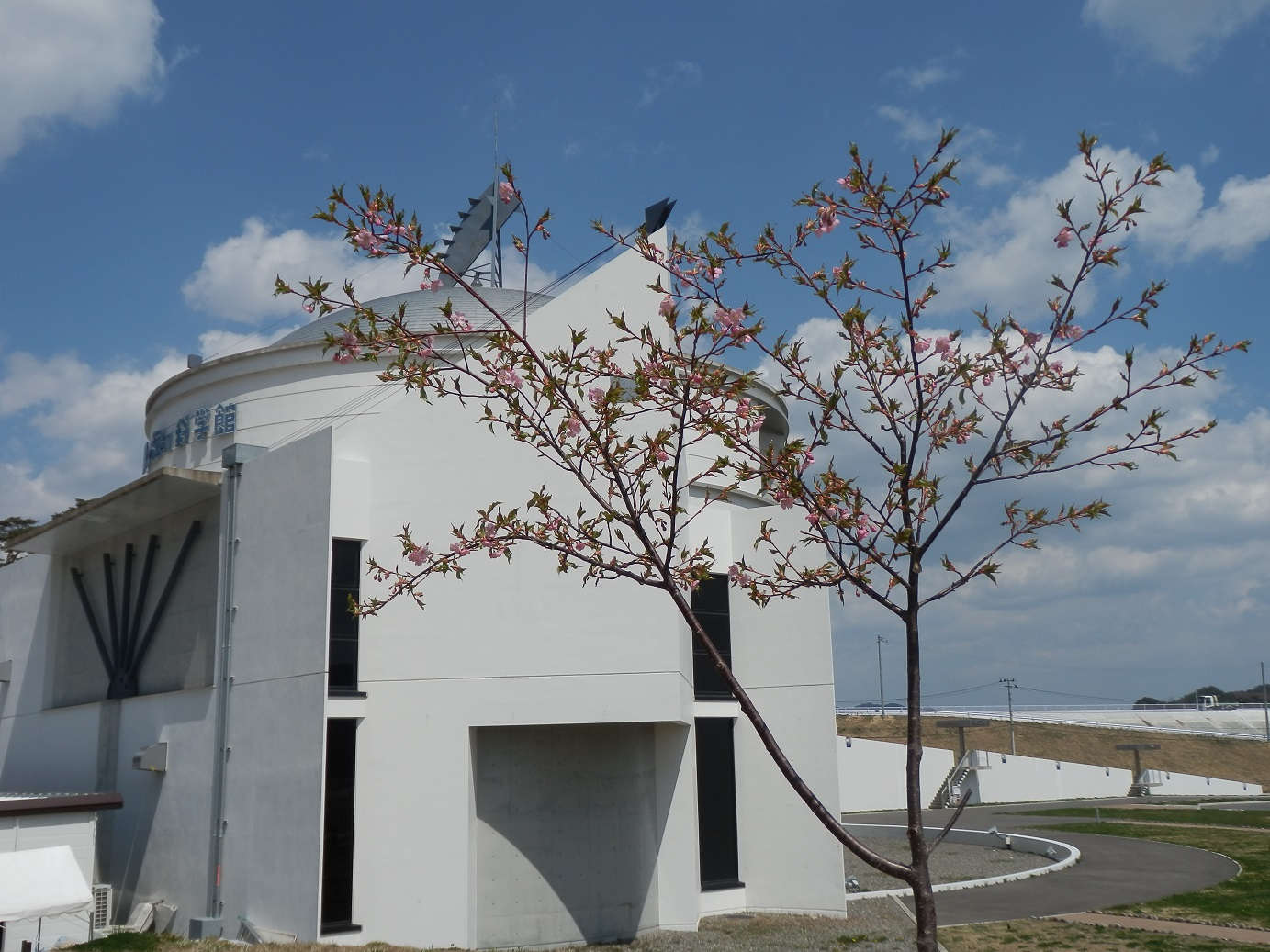 河津桜が咲いています